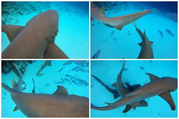 18. Nurse Shark, Snorkeling, Diving, Alimanta, Vaavu Atoll, Maldives